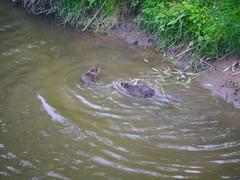 esk ternberk (CeBepuH) Tags: geotagged czechrepublic cze watervole 2013 vodn eskternberk arvicolaamphibius geo:lat=4981043073 geo:lon=1492762408  hryzec