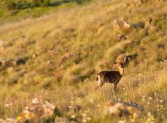 Curious_fawn_2 (Knoal) Tags: california light nature golden marin doe deer fawn solo headlands