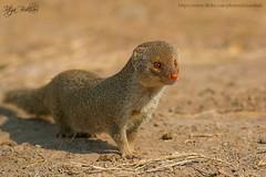 Mongoose (Irtiza Bukhari) Tags: wild wallpaper nature beauty animal canon one wildlife dslr wwf mongoose bukhari natgeo irtiza