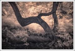 Contorted Tree (David Harris ARPS) Tags: ir infrared denhamcountrypark