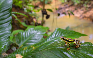 Atelopus spumarius- Common Harlequin Toad