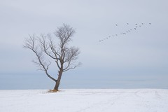 Lone Tree and Geese (John Druding