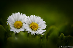 It's Not What You Look At That Matters, It's What You See  [Explored 05/05/2016] (_Natasa_) Tags: flowers white flower macro green art nature grass closeup canon dof bokeh depthoffield daisy wildflower whiteflowers canoneos7d canonef100mmf28lmacroisusm natasaopacic natasaopacicphotography