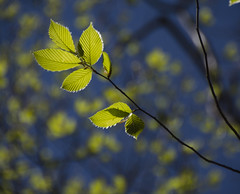 (amy20079) Tags: new trees green nature leaves spring natural bokeh branches maine young may newengland naturallight depthoffield abtract nikond5100