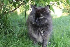 Im Grnen (2/2) (Vasquezz) Tags: green cat garden katze grn garten siberiancat zarin sibirische  zarah forestcat waldkatze tsarina sibirisch sibirischekatze