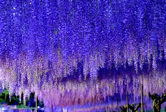 Wisterias in the light (Giovanni88Ant) Tags: flowers light purple wisteria  byakugouji