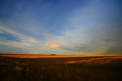 (roadcat2016) Tags: clouds evening farm wheat agriculture goldenlight openspaces magiclight
