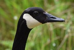 Canada Goose (careth@2012) Tags: portrait bird wildlife beak headshot goose