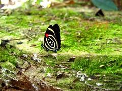 Callicore hydaspes (marianaplorenzo) Tags: borboletas borboleta88