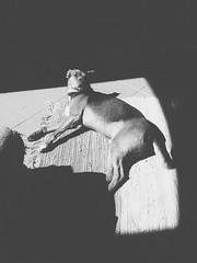 Laziness (Rest_0) (Doc Strange 87) Tags: shadow bw dog sun white black phone ombra riposo pepe sole telefono bianco nero pepino cagnolino pellicola