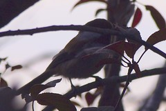 Plum Tree 20140812 (caligula1995) Tags: 2014 chickadee plumtree