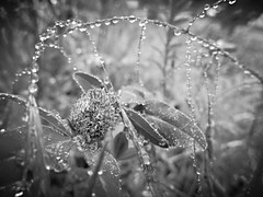 tropf tropf (nirak68) Tags: deutschland spring rainy raindrops clover lbeck tropfen klee frhling ger regenwetter stadtgrn 147366 schleswigholsteinkreisfreiehansestadtlbeck 2016ckarinslinsede