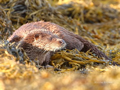 A Special Encounter (alison brown 35) Tags: uk sea wild brown ex nature lens mammal photography scotland weed wildlife ngc sigma august inner special 7d otter loch aquatic alison 500mm 35 mull encounter hebrides 2015 isleof caon lutralutra