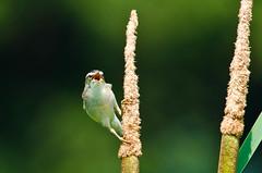 untitled (35 of 46)-2.jpg (Michael Adams in Amsterdam) Tags: bird sedgewarbler