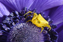 Amarillo sobre morado (Maite Mojica) Tags: flor polen araa cangrejo morada cazadora amapola thomisus arcnido thomisidae acecho onustus artrpodo depredadora