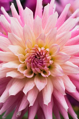 amelie (Eyes of the Muse) Tags: pink dahlia flower macro 20d yellow contrast canon spiky washington blossom geometry magenta bloom tacoma fractals tone awesomeblossoms ivyhutchison