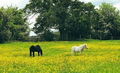 ... more yellow fields ... Ponies Horses Field Fields Buttercups Countryside Wales Rural     Campagne (Almena14) Tags: horses field wales rural countryside fields ponies campagne buttercups