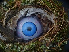 Eyecatcher- eye see you! (zikade) Tags: eye nest auge eyecatcher vogelnest nestling blauesauge blickfang augenblickmal
