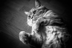 IMGL6912.jpg (k.jenchik) Tags: portrait bw pet cat canon meow bnw scotish 50mmf18 czj pancolar homepet scottishstraight