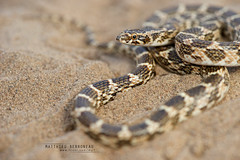 Derafshi Snake, Lytorhynchus ridgewayi (MP7Aquit) Tags: iran trip 2016 sony alpha macro nature herpto wildlife animal animaux ff 24x36 full frame a7ii 7ii 7mk2 sonyilce7m2 herping herpeto reptile reptilian reptilia serpent serpente snake serpentes snakes serpiente field herp sonya7ii sonya7mk2 sonyalpha7mark2 fe 90 f28 g oss fe90f28macrogoss sonyfesonyfe2890macrogoss objectifsony90mmf28macrofe sel90m28g lytorhynchus ridgewayi lytorhynchusridgewayi derafshi derafshisnake