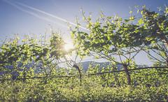 (c) Wolfgang Pfleger-6998 (wolfgangp_vienna) Tags: italien blue sky italy green del vineyard strada himmel vine vineyards grn vino sdtirol wein blauer altoadige weinstock eppan weinstrasse weingarten kaltern missian stradadelvino kalterersee weinstrase weinterrasse