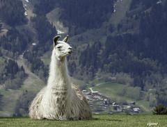 Le matre de la valle !! (Elyane11) Tags: animal montagne lama parc valle parcdemerlet