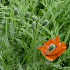 pimpants boutons (peltier patrick) Tags: orange nature garden berry jardin vert poppy poppies papaver papaveri vivace pavot mohn bouton boutons pavots papaverum boutonfloral patrickpeltier