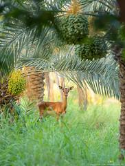 Arabian Bliss.. (AAR PHOTOGRAPHY) Tags: nikon arabia doha qatar desertlife d810 nikon70200 nikond810 qatarwildlife qatarphotography lifeinqatar