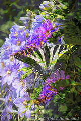 2016-05-20-_MG_8346BLGLr (CarolesPhotoArt) Tags: composite butterfly bright blended swallowtail