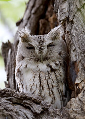 Eastern Screech-Owl gray morph - Megascops asio (Stoil Ivanov) Tags: gray wyoming eastern morph asio screechowl megascops