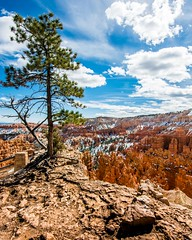 Bryce Canyon Tree 2 (ssnidey) Tags: winter snow tree rock pine clouds nationalpark roots bluesky cliffs redrock brycecanyon hoodoos