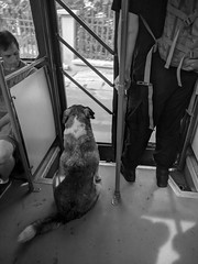 Smartass (lunat1k) Tags: blackandwhite dog bus monochrome ride sofia bulgaria commute publictransport freeride smartass freeloader bus64 nexus5x commutersofsofia
