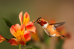 Al (Patricia Ware) Tags: california canon backyard tripod birdsinflight manhattanbeach alstroemeria allenshummingbird selasphorussasin multipleflash specanimal ef500mmf4lisusm httppwarezenfoliocom