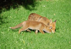 Mother and cub (Clare_leeloo) Tags: nature spring wildlife fox redfox vulpes
