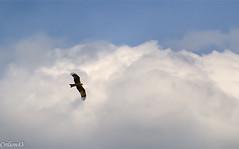 Milan royal. (Crilion43) Tags: france milan nature canon divers centre royal ciel arbres cher nuages paysage oiseaux bleue nir msange rflex charbonnire