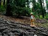 IMG_8685.jpg (edcool1_1) Tags: oakhurst california unitedstates us yotsuba yotsubato revoltech yotsubayosemite よつば よつばと よつば& リボルテック よつばとヨセミテ国立公園 よつばとヨセミテ よつば&ヨセミテ国立公園 よつば&ヨセミテ neldergrove shadowofthegiants sequoia redwood giantredwoods forest trees