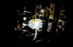 Lighting It Up (Kenny Dong) Tags: light sunlight flower nature mushroom canon fence garden gardening outdoor soil outdoorphotography