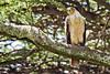 Eagle, Tawny 9-13 (Grete Howard) Tags: golkopjes kopje serengeti tanzania safari safariinafrica bestsafarioperator bestsafaricompany whichsafaricompany whichsafarioperator animals animalphotos animalsofafrica africa africansafari africanbush africananimals animal birds birdwatching birding gamedrive