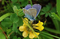 Bluling (Hugo von Schreck) Tags: macro butterfly insect outdoor makro insekt schmetterling bluling onlythebestofnature tamron28300mmf3563divcpzda010 canoneos5dsr hugovonschreck