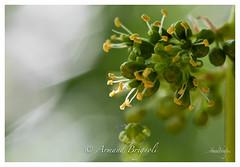 Bbs raisins (armandbrignoli) Tags: macro raisin vine bb fleur plante petit flower canon 5dsr