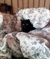 awakening by QFS_mlp (QueenFaeeStudio) Tags: cats felini gatti mici katze gatos blackcat catseyes black nero gatto blackcats gioco game fun havingfun awakening risveglio ngm