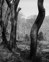 Trio (Heike Geue) Tags: 35mm fuji wald baum xpro2