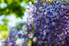 (zwei_kilo_gramm) Tags: flower nature japan spring sapporo hokkaido bokeh may    wisteria  5   yurigaharapark