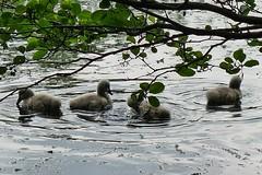 am Villenhofer Maar (mama knipst!) Tags: swan natur schwan tierkinder villenhofermaar