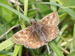 Dingy Skipper - East Kent (mikehook51) Tags: uk england nature grass sunshine fauna digital kent spring flora wildlife may butterflies reserve insects lepidoptera common winged grassland dingyskipper kwt naturereserves bbcspringwatch chalkland kentwildlifetrust eos7d canoneos7d