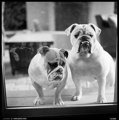2016-04-25-0010-border (JSturr - jsturr.com) Tags: bw white black film rollei self delta 400 scanned ilford bulldogs delveloped 6008i