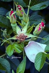 Death & Birth (haidarism (Ahmed Alhaidari)) Tags: death birth beginning end flower bud plant bokeh outdoor nature depthoffield sonya65 macro macrophotography green leaf ngc