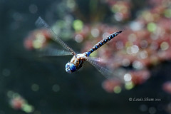 The free Dragonfly. (Louis Shum) Tags: red sea summer sky lake canada motion green art water yellow vancouver insect flying bc artistic pentax dragonfly free 300mm spots kr f11 1250 louisshum