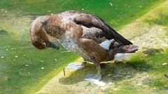 DSC08646_DxO (Franck Zumella) Tags: reflection bird water rouge duck eau teal bec reflexion oiseau canard brun mottled redbilled