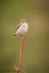 Whinchat (f) (ABPhotosUK) Tags: birds animals canon wildlife devon dartmoor teleconverter whinchat turdidae saxicolarubetra chatsandthrushes ef14xextenderiii eos7dmarkii ef100400mmisii